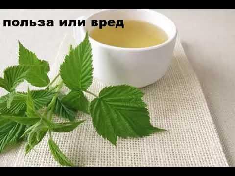 Листья малины полезные свойства и противопоказания чая -отвара из листьев малины