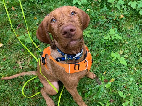 Beckett - Hungarian Vizsla Puppy - 3 Weeks Intensive Collect & Train