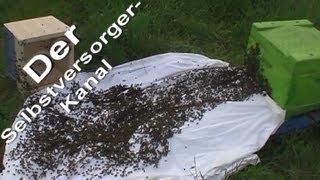 Bienenschwarm in Beute einlaufen lassen