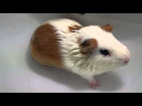 Guinea Pig Hot Spa