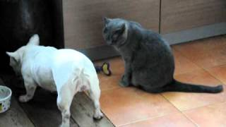 Just great Sunday morning sex. French bulldog and British shorthair love parade