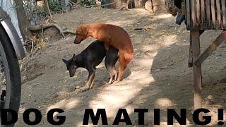 DOG MATING NATURAL BREEDING (ASPIN) Dachshund CROSS