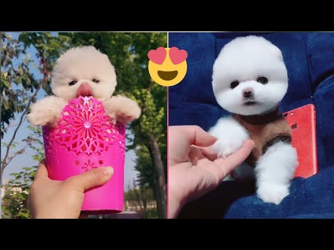 little-little-teacup-dog😍😍funny-and-cute-puppies-compilation