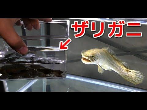 腹ペコの肉食魚、アミアカルヴァに大量のザリガニを与える!