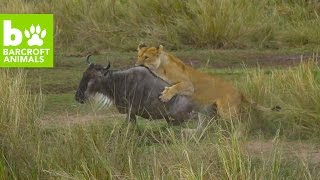 Animals Attack In The Mara Triangle: Teaser