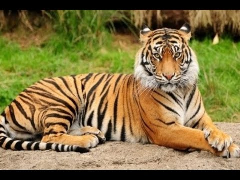 Tiger Harimau Sumatra Gembira Loka Zoo Hd Youtube