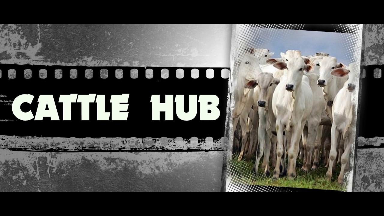 Cow for Sale|Gir cow sale in keshod gujarat price 35000 mob 9824569034