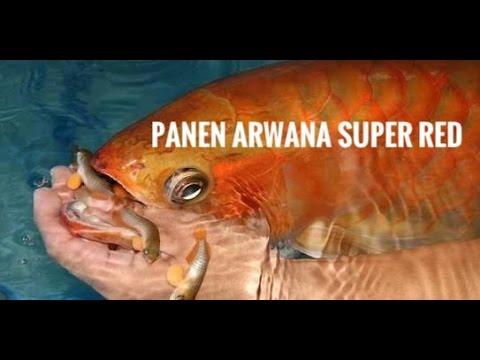 Begini Cara Berkembangbiak Ikan Arwana Doovi