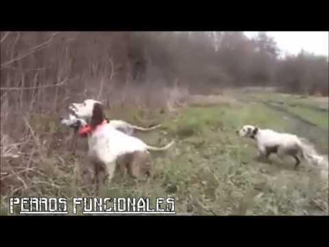 Pointer (dog breed) -Trabajo de campo 2016