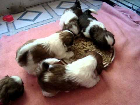 shih tzu feeding 5 week old shih tzu puppies eating for the 1st time youtube 365