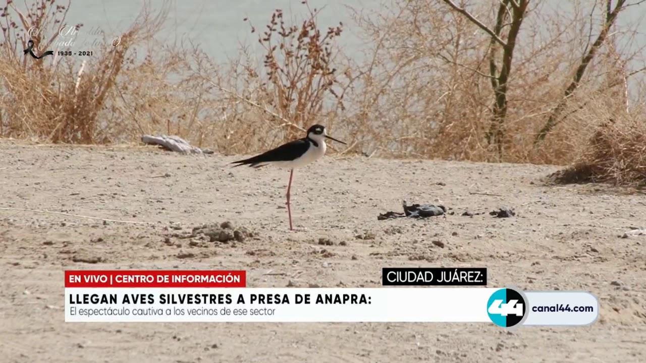 Download Llegan aves silvestres a presa de Anapra