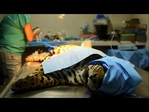 Operan en zoológico al último jaguar macho de El Salvador