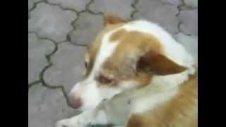 Gadający i Śpiewajacy Pies .