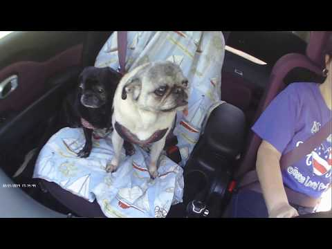 Pugs Riding In The Car