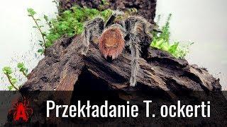 TERRARIUM BIOTOPOWE dla dorosłej samicy T. ockerti