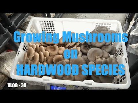 WTF VLOG - 30 Growing Mushrooms on HARDWOOD SPECIES