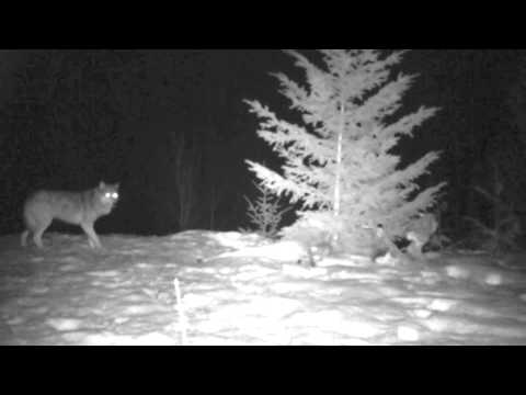 wolf at night in the slocan valley