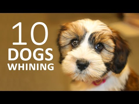 Dogs Whining And Crying Sound Effect Show This To Your Dog And See