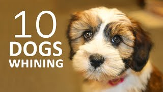 DOGS WHINING and Crying Sound Effect | Show this to your Dog and See What Happens HD