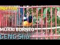 Ngetrek Murai Borneo  Geng Shu  Buat Bangkitkan Ocehan Murai Malas Bunyi  Mp3 - Mp4 Download
