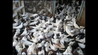 New!! 2013 best clip Iranian Pigeons(kaftar irani) Elizada 5.1.2013