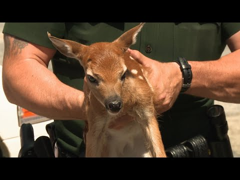 This Baby Deer Was Found All By Itself | North Woods Law
