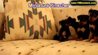 Miniature Pinscher, Puppies, For, Sale, In, Duluth, Minnesota, County, Mn, Hennepin, Dakota, Washing