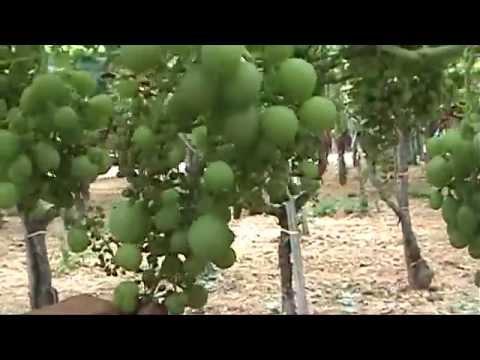 Piante uva da tavola rutigliano malformazioni youtube - Piante uva da tavola ...