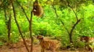 Обезьянка дразнит тигров.