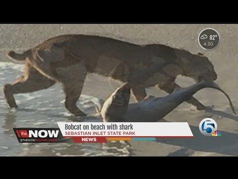 Shark Net - Bobcat Caught On Camera Dragging Shark From The Water In Vero Beach