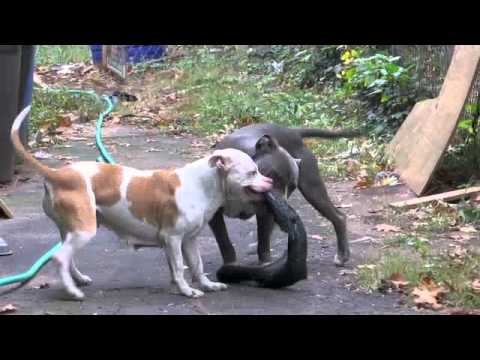 Pit bull tire pull youtube pit bull tire pull sciox Images
