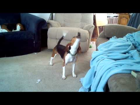 Crazy Howling Beagle featuring Snooty!