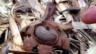 エリマキツチグリ