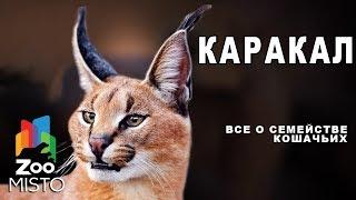 Каракал - Все о виде млекопитающего  | Семейство кошачьих  каракал