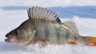 Зимняя рыбалка.Окунь на безмотылку .УЛОВИСТАЯ КОЗА КОСИТ ОКУНЕЙ