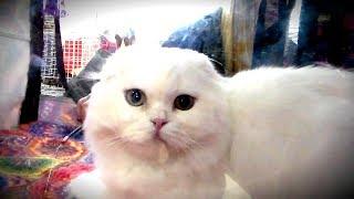 👍 Супер Няшный Красивый Пушистик 😍 Шотландский Вислоухий Котик | ПОРОДЫ КОШЕК