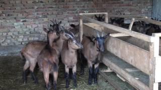 Savetovanje O Veštačkoj Oplodnji Koza I Uzgoju