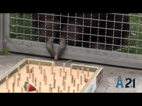 Dahi, el orangutan del zoo de Madrid es el más aventajado