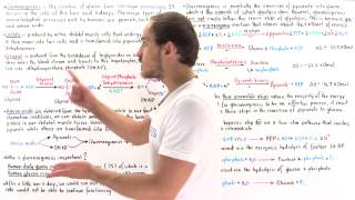 Introduction to Gluconeogenesis