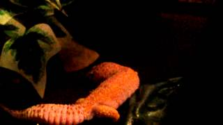 Leopard gecko displaying enigma syndrome