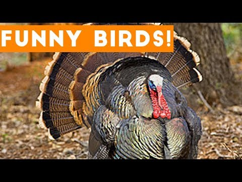 Funny Turkey & Bird s Weekly Compilation 2017  Funny Pet s