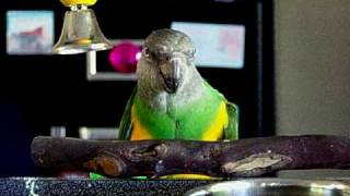 Senegal Parrot designs a tool