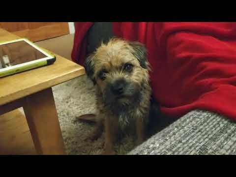Border terrier Leeloo tries to tell us what she wants.