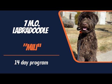 LABRADOODLE / DOG TRAINING