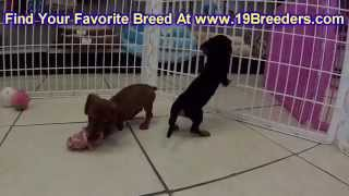 Miniature Dachshund, Puppies For Sale, In, Nashville, Tennessee, Tn, County, 19breeders, Knoxville,