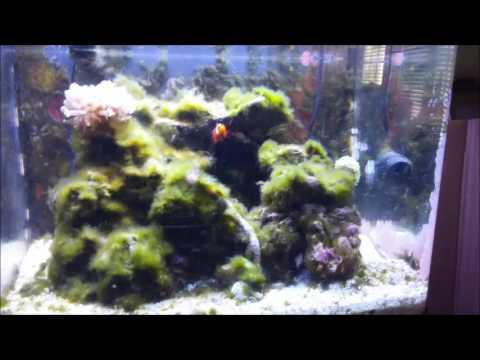 Green Hair Algae Outbreak Ercup S Reef