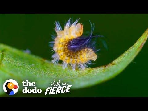 Tiny Caterpillar Makes Stunning Metamorphosis Into A Garden Tiger Moth | The Dodo Little But Fierce