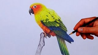 How To Draw A Bird With Simple Colored Pencils  - Sun Conure |