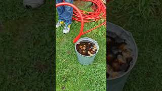 Getting earthworms without digging - so easy a 9-yr-old can do it ;)