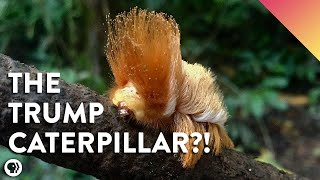 This Rainforest Caterpillar Looks Like Donald Trump